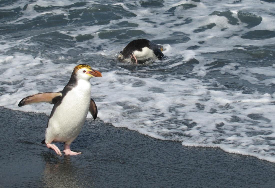 Royal penguin 1200